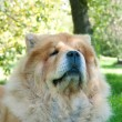 Chow-Chow dog in the city park - Stock Photo