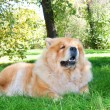 Chow-Chow dog in the city park — Stok fotoğraf #13266335