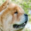 Chow-Chow dog in the city park — Stok fotoğraf #13266409