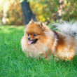 Stock Photo: Spitz, Pomeranidog in city park
