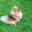 Spitz, Pomeranian dog in city park — Foto de Stock
