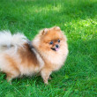 Royalty-Free Stock Photo: Spitz, Pomeranian dog in city park