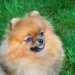 Spitz, Pomeranian dog in city park — Stock fotografie