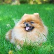 Spitz, Pomeranian dog in city park — Stock Photo #13267179