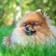 Spitz, Pomeranian dog in city park — 图库照片