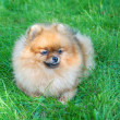 Spitz, Pomeranian dog in city park — Stock Photo #13267350