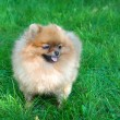 Spitz, Pomeranian dog in city park — Stock Photo