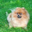 Spitz, Pomeranian dog in city park — Stock Photo #13267602