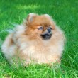 Spitz, Pomeranian dog in city park — Stock Photo #13267638