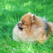Spitz, Pomeranian dog in city park — ストック写真