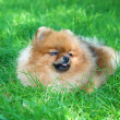 Spitz, Pomeranian dog in city park — Stockfoto