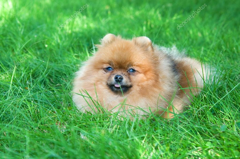 Spitz, Pomeranian dog in city park — Stock Photo #13264643