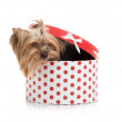 Stock Photo: Yorkshire Terrier in gift-box, studio shot on white background