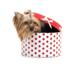 Yorkshire Terrier in gift-box, studio shot on white background — Stock Photo