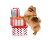 Spitz, Pomeranian dog with gift-boxes in studio shot on white background — Stock Photo