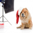 Chow-Chow in a red Santa Claus hat in studio on white background — Stock Photo