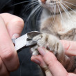 Clipping claws of a cat - a necessary concern for pet — Stock Photo