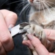 Stock Photo: Clipping claws of cat - necessary concern for pet