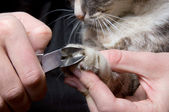 Clipping claws of a cat - a necessary concern for pet — Zdjęcie stockowe