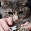 Stock Photo: Trimming cat's nails
