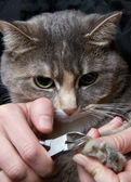 Trimming cat's nails — Stock Photo