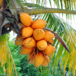 Stock Photo: Coconuts on palm tree