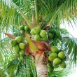Coconuts on the palm tree — Stok fotoğraf