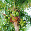 Coconuts on the palm tree — Photo