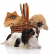 Papillon - Continental Toy Spaniel and spitz, Pomeranian dog — Stock Photo