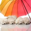 Stock Photo: Puppies sleeping under umbrella