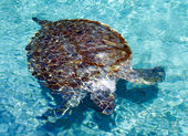 Turtle in water — Stock Photo