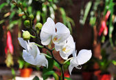 White orchids — Photo
