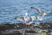 Seagull on the rocks of a rough coastline — Stock Photo