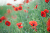Field of Corn Poppy Flowers — Stock Photo