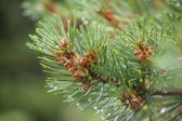 Blue Spruce with drops of water, macro — Stock Photo