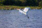 Flying White Egret — Stock Photo