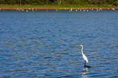 White Egret — Foto Stock