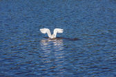 Egret Diving — Stock Photo