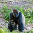 Silverback Gorilla — Stock Photo #16692765