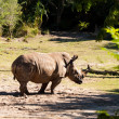 Wild White Rhinoceros — Stock Photo