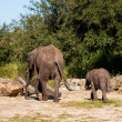 Elephants In The Wild — Stock Photo