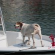Old Dog On A Boat — Stock Photo