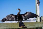 Anhinga Darter With Wings Spread — Stock Photo