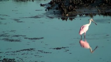 Roseate Spoonbill in the shallow water — Wideo stockowe