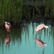Spoonbills preening in the shallow water — Stock Video