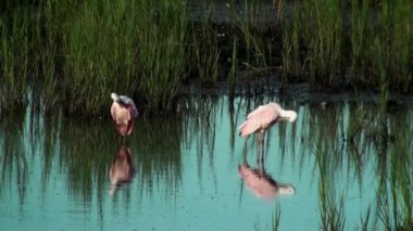 Spoonbills preening in the shallow water — Wideo stockowe