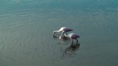 Two Spoonbills catching food — Video Stock