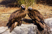 Cinereous Vultures — 图库照片