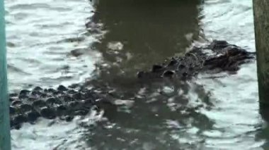 Alligator with small fish jumping over it — Vídeo de Stock