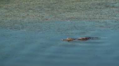 Alligator With Ripples In The Water — Stok video